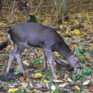 The Deer Park (Dyrehaven) in the Fall, Copenhagen